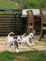 Dalmatian Puppies for sale in Tucson, AZ, USA. price: NA