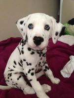 Dalmatian Puppies for sale in Florissant, MO, USA. price: NA