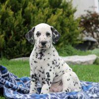 Dalmatian Puppies for sale in Black River Falls, WI 54615, USA. price: NA