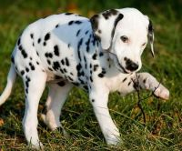 Dalmatian Puppies for sale in Pawtucket, RI, USA. price: NA