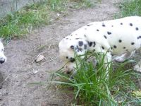 Dalmatian Puppies for sale in San Diego Ave, San Diego, CA, USA. price: NA