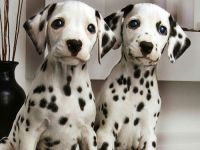 Dalmatian Puppies for sale in Wilmar, AR 71675, USA. price: NA