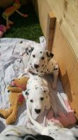 Dalmatian Puppies for sale in San Diego, CA, USA. price: NA