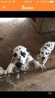 Dalmatian Puppies for sale in Huntsville, TX, USA. price: NA