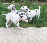 Dalmatian Puppies for sale in TX-249, Houston, TX, USA. price: NA