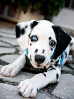 Dalmatian Puppies for sale in St Clair, MI 48079, USA. price: NA