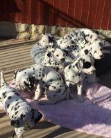 Dalmatian Puppies for sale in Wilmington, DE, USA. price: NA