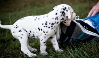 Dalmatian Puppies for sale in Jacksonville, FL, USA. price: NA