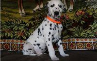 Dalmatian Puppies for sale in Mackville Harrodsburg Rd, Mackville, KY 40040, USA. price: NA