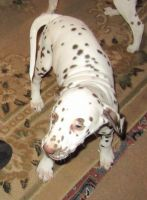 Dalmatian Puppies for sale in Texas Ave, Houston, TX, USA. price: NA