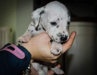 Dalmatian Puppies for sale in Los Angeles, CA 90001, USA. price: NA