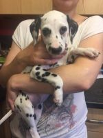 Dalmatian Puppies for sale in Pennsylvania, Runnemede, NJ 08078, USA. price: NA