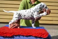 Dalmatian Puppies for sale in Beverly Hills, CA, USA. price: NA
