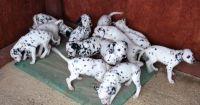 Dalmatian Puppies for sale in Virginia Beach, VA, USA. price: NA