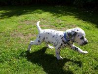Dalmatian Puppies for sale in Miami, FL 33101, USA. price: NA
