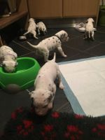 Dalmatian Puppies for sale in Florida Ave NW, Washington, DC, USA. price: NA