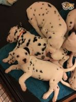 Dalmatian Puppies for sale in Ohio Ave, Long Beach, NY 11561, USA. price: NA