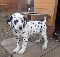 Dalmatian Puppies for sale in North Fork, ID 83466, USA. price: NA