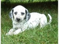 Dalmatian Puppies for sale in Austin, TX, USA. price: NA