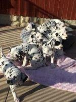 Dalmatian Puppies for sale in Charleston, WV, USA. price: NA