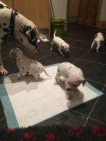 Dalmatian Puppies for sale in Ohio Pike, Amelia, OH 45102, USA. price: NA