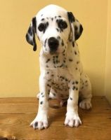 Dalmatian Puppies for sale in Ogden, UT, USA. price: NA
