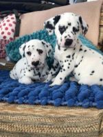 Dalmatian Puppies for sale in Philadelphia, PA, USA. price: NA