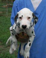 Dalmatian Puppies for sale in Cincinnati, OH, USA. price: NA