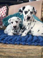 Dalmatian Puppies for sale in San Francisco, CA, USA. price: NA