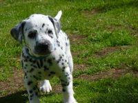 Dalmatian Puppies for sale in Houston, TX, USA. price: NA