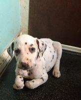 Dalmatian Puppies for sale in 15201 San Pedro Ave, San Antonio, TX 78232, USA. price: NA