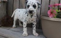 Dalmatian Puppies for sale in Portland, OR, USA. price: NA