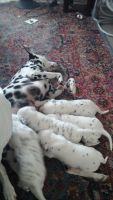 Dalmatian Puppies for sale in San Marcos, TX 78666, USA. price: NA