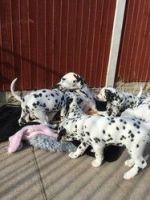 Dalmatian Puppies for sale in Burlington, VT, USA. price: NA