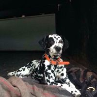 Dalmatian Puppies for sale in Kingstree, SC 29556, USA. price: NA
