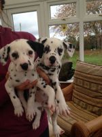 Dalmatian Puppies for sale in Atlanta, GA, USA. price: NA
