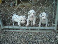 Dalmatian Puppies for sale in Manassas Park City Schools, Manassas Park, VA 20111, USA. price: NA