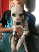 Dalmatian Puppies for sale in Brownsville, TX 78520, USA. price: NA
