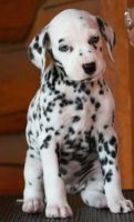 Dalmatian Puppies for sale in Roderfield, WV 24828, USA. price: NA