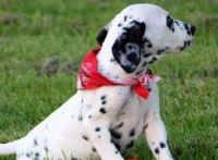Dalmatian Puppies for sale in 10486 Oban Terrace Lane, Sugar Land, TX 77479, USA. price: NA