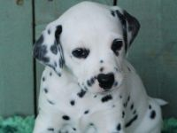 Dalmatian Puppies for sale in Colorado Springs, CO 80903, USA. price: NA