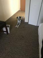 Dalmatian Puppies for sale in Norfolk, VA 23505, USA. price: NA