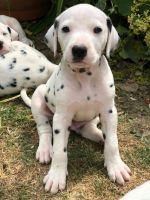 Dalmatian Puppies for sale in Charleston, SC, USA. price: NA