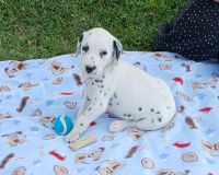 Dalmatian Puppies for sale in Sugarcreek, OH 44681, USA. price: NA