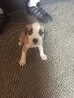 Dalmatian Puppies for sale in Marion, IN 46953, USA. price: NA