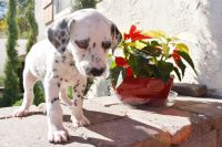 Dalmatian Puppies for sale in Riverside, CA, USA. price: NA