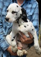 Dalmatian Puppies for sale in Denver, CO, USA. price: NA