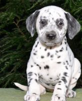 Dalmatian Puppies for sale in TX-121, McKinney, TX, USA. price: NA