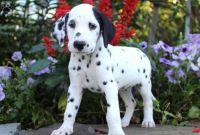 Dalmatian Puppies for sale in Burke, VA, USA. price: NA