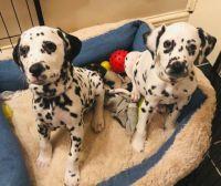 Dalmatian Puppies for sale in Newark, NJ 07188, USA. price: NA